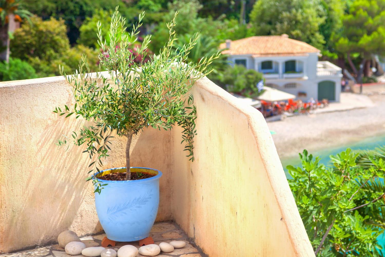 Rempoter un olivier: les étapes à respecter