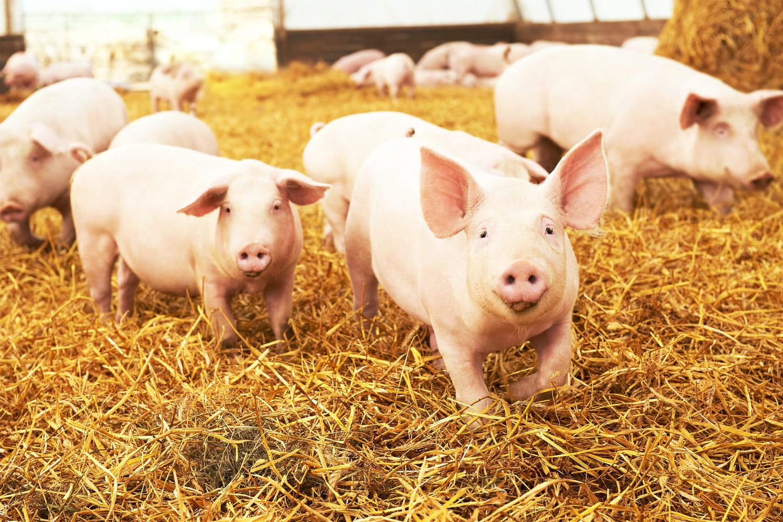 Info ou intox: on vous éclaire sur la filière porcine française