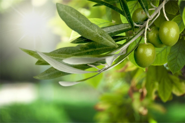 Olivier: bienfaits santé, utilisation des feuilles en infusion
