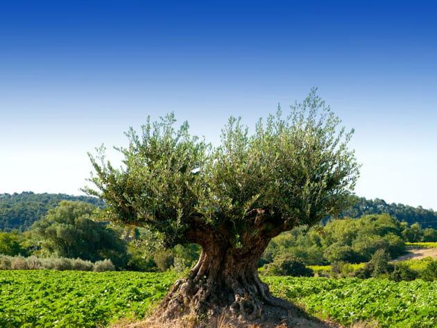 Un olivier bicentenaire pour la Saint-Valentin