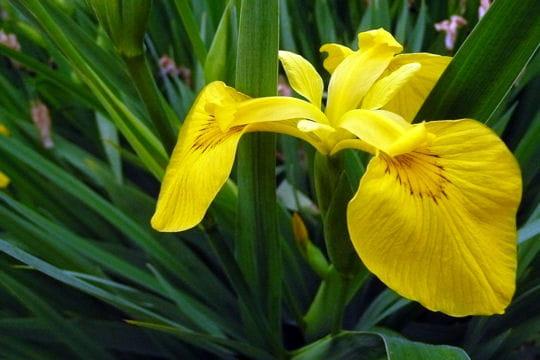 Pseudacorus variegata