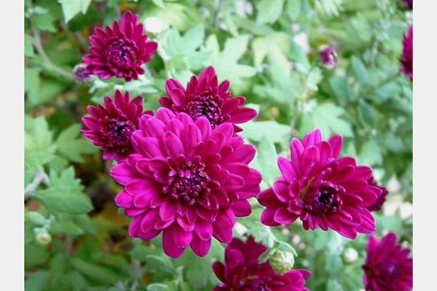Chrysanthèmes rose vif