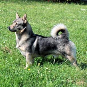 swedish valhund
