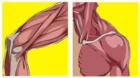 les tendons sont au bout des muscles qui eux-mêmes recouvrent les os et