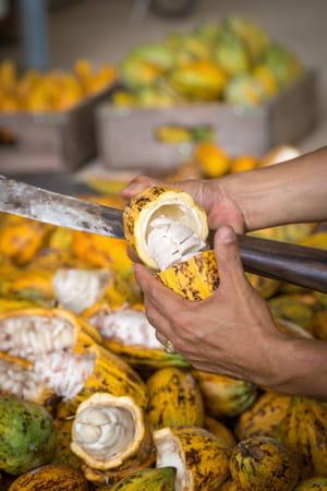 mucilage-feve-cacao