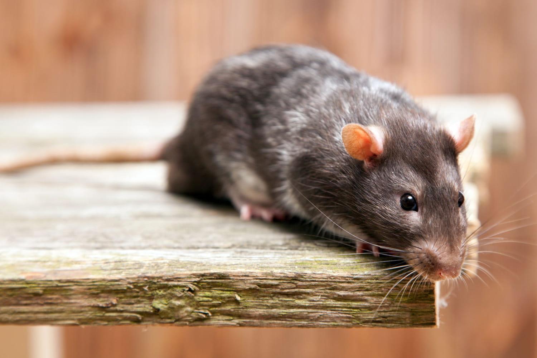 Dératisation: comment s'y prendre pour se débarrasser des rats