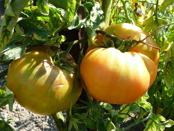 tomate-dixie-golden-giant
