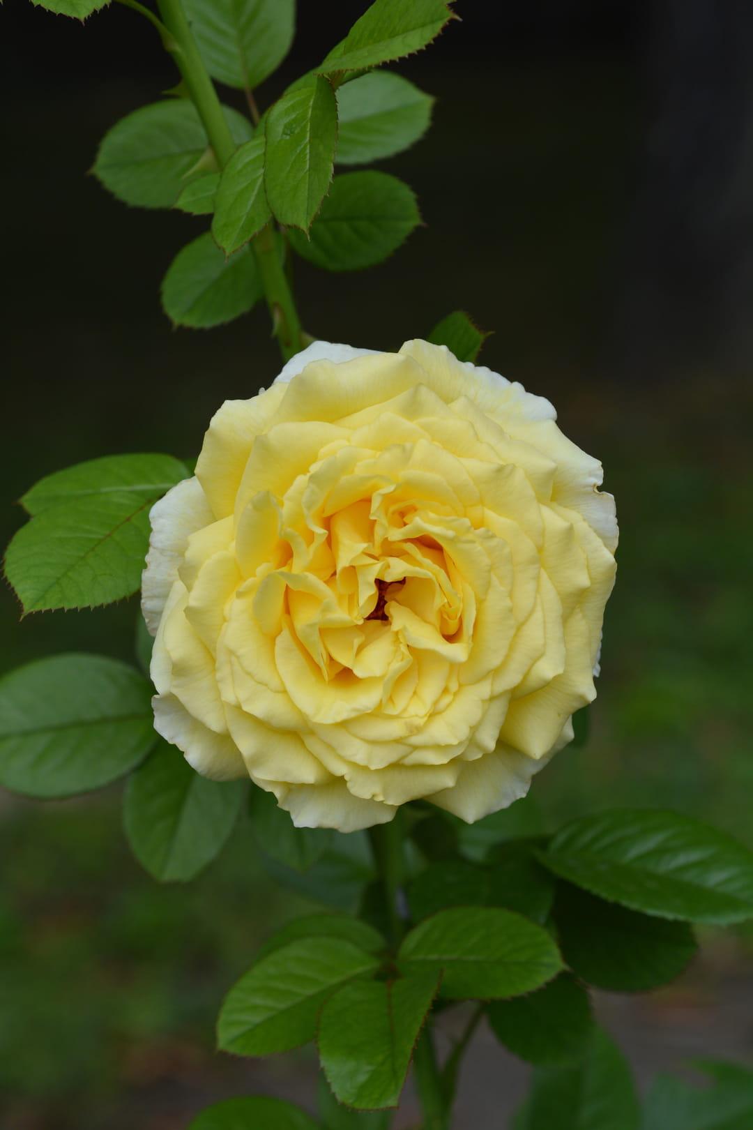rosier-grimpant-cyrano-de-bergerac