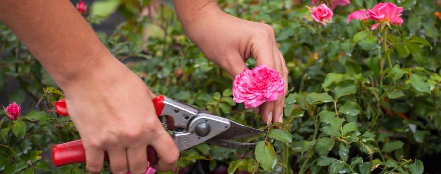rose et rosier photos de fleurs et entretien de la plante. Black Bedroom Furniture Sets. Home Design Ideas
