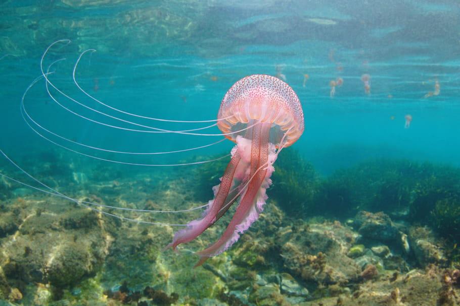 Piqûre de méduse: durée, effets secondaires, que faire?