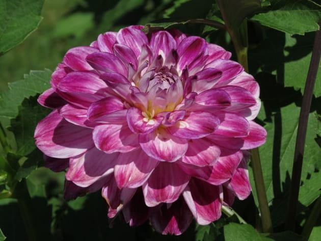 Le grand dahlia violet