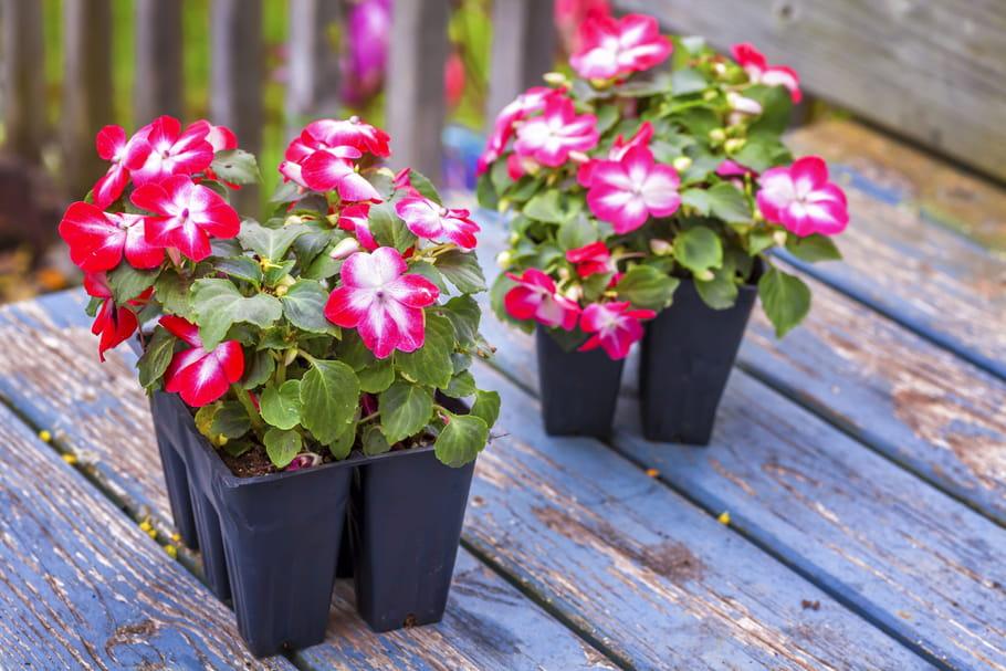 L 39 impatiens culture entretien arrosage et maladies - Fleurs d ombre en jardiniere ...
