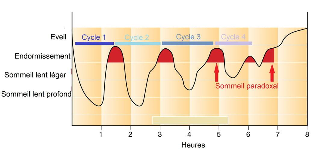 Graphique des stades de sommeil au cours d'une période de sommeil de 8 heures
