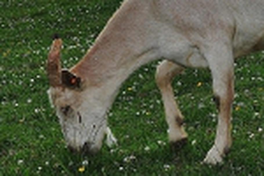 """La chèvre, une """"tondeuse à gazon"""" écologique"""