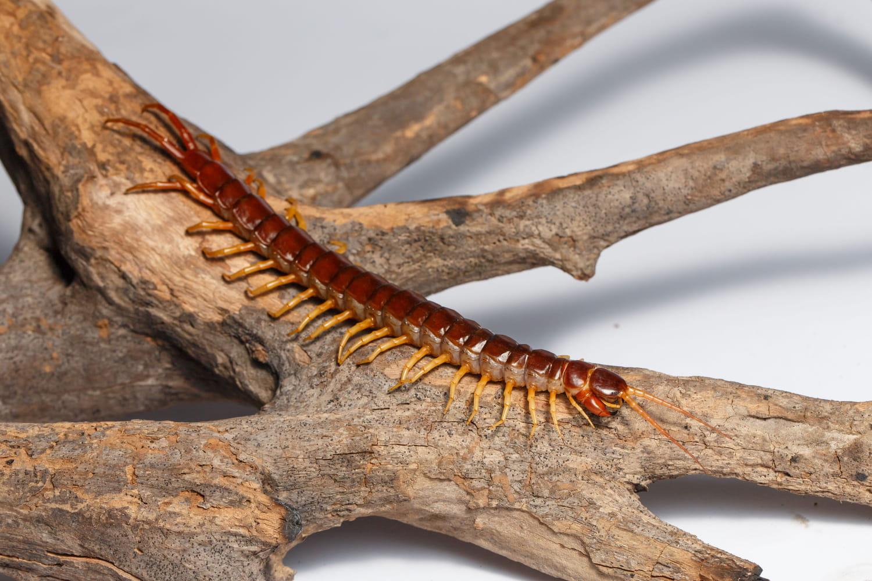 Morsure de scolopendre(mille-pattes): symptômes, douleur, que faire?