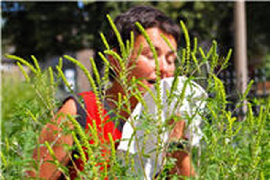 Pollens : arrivée de l'ambroisie