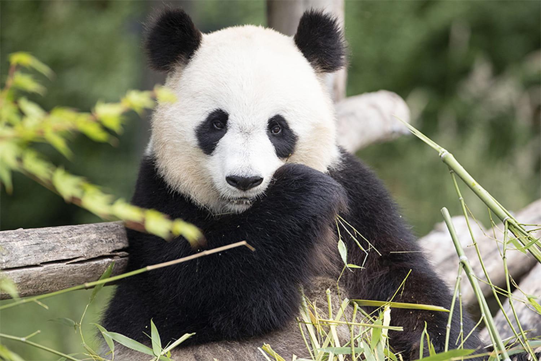 Zoo de Beauval: le panda Huan Huan enceinte de jumeaux