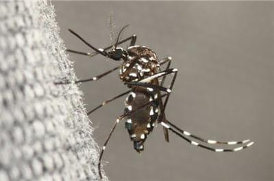 moustique tigre.