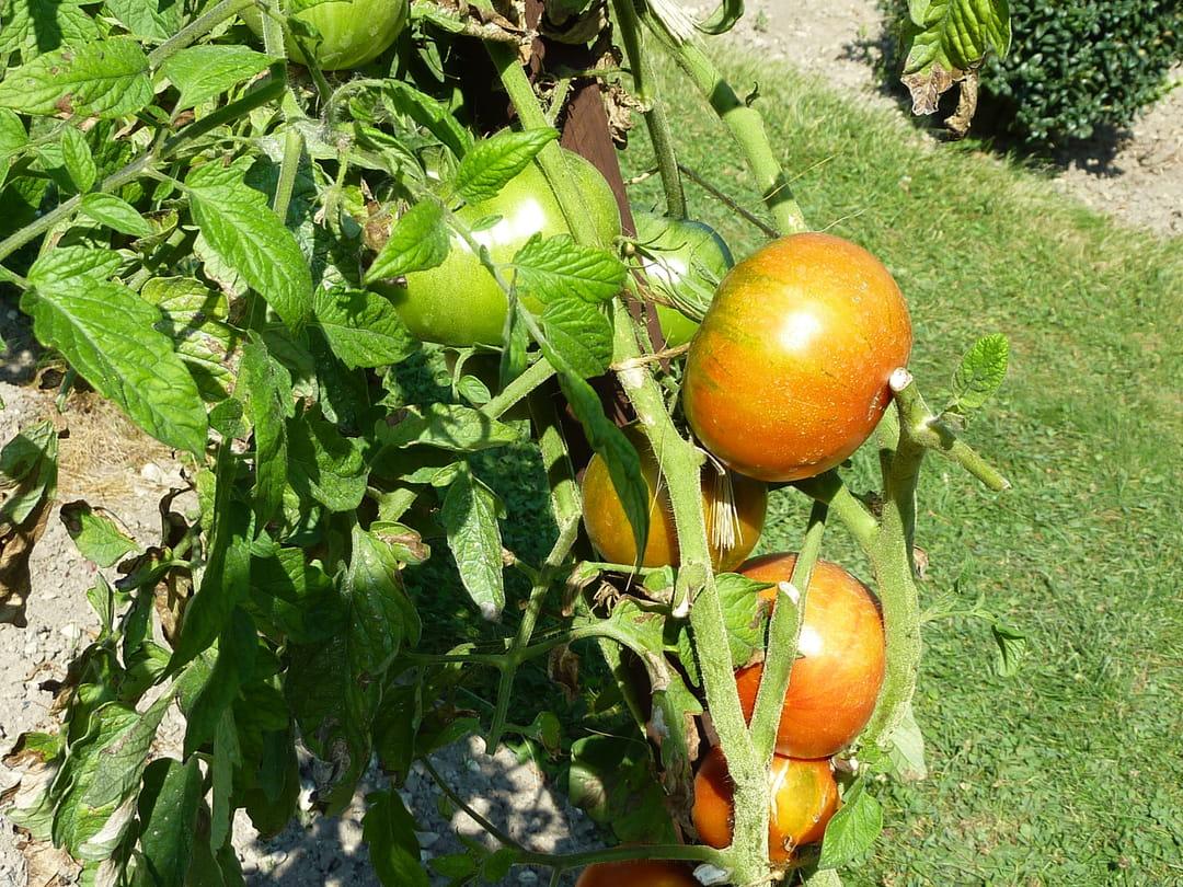 tomate-grosse-de-rodelle