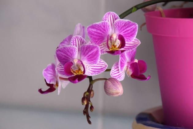 Orchidée: parfois des dermatites allergiques