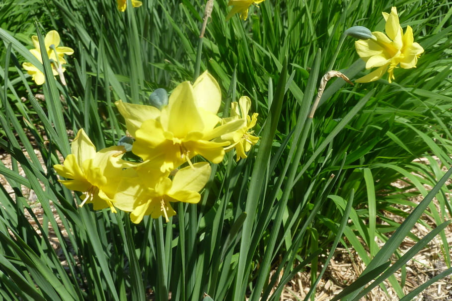 la jonquille varits plantation floraison et emplois - Fleur Jonquille