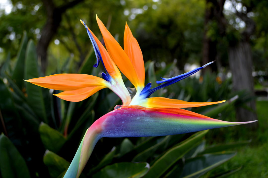 Sstrelitzia-oiseau-de-paradis