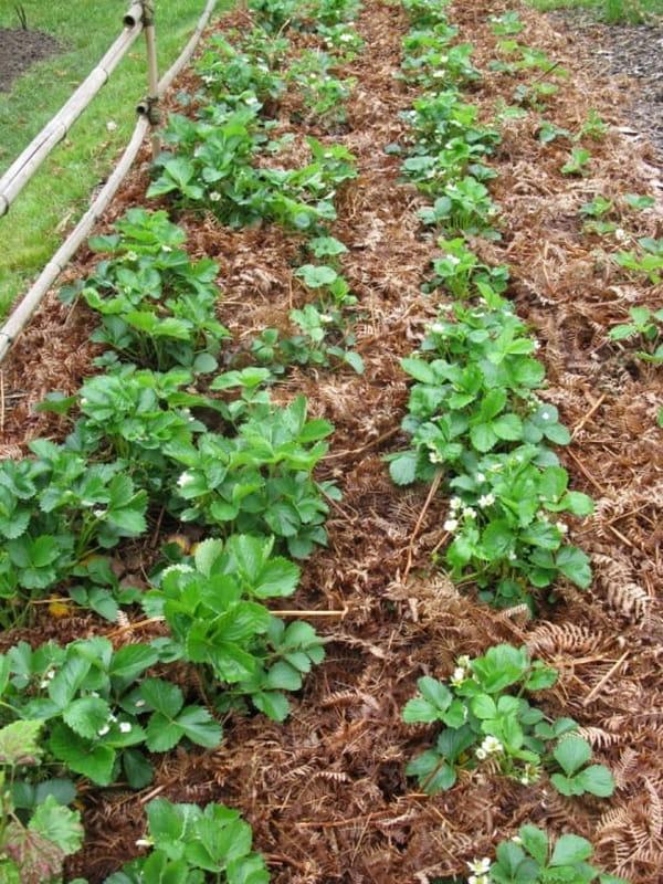 paillage-de-fougeres-sur-fraisiers
