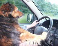 pour sa sécurité, votre animal ne doit pas voyager n'importe où, mais seulement