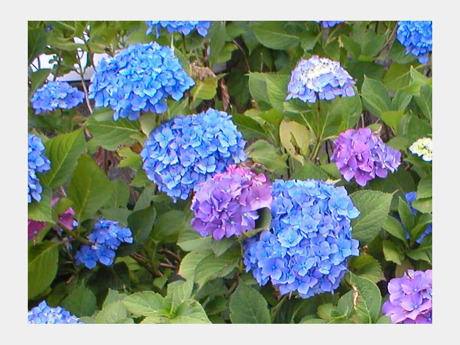 Hortensias bleu et mauve