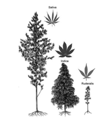 Sous-espèce de cannabis