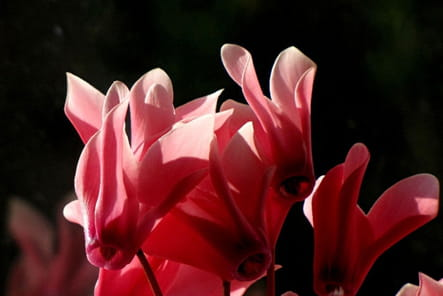 Cyclamens rouge