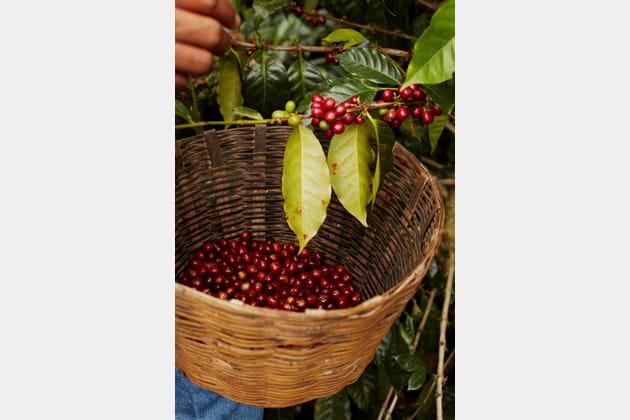 Récolte des cerises de café