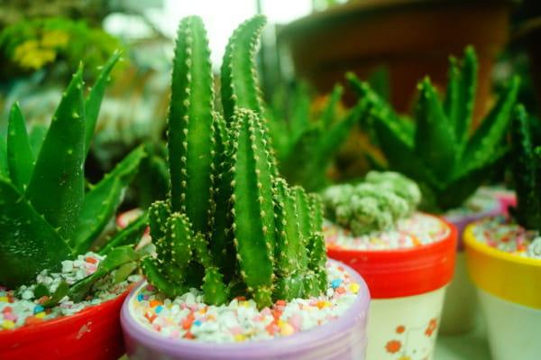 cactus-colonnaire-ou-cierge-du-perou