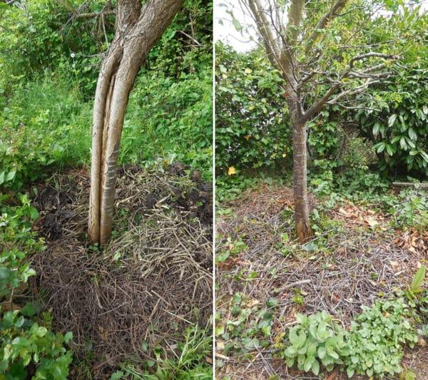 arbre-fruitier-avec-paillage