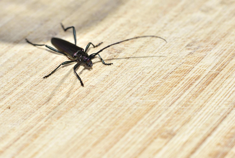 Se débarrasser des capricornes des maisons, ces insectes nuisibles