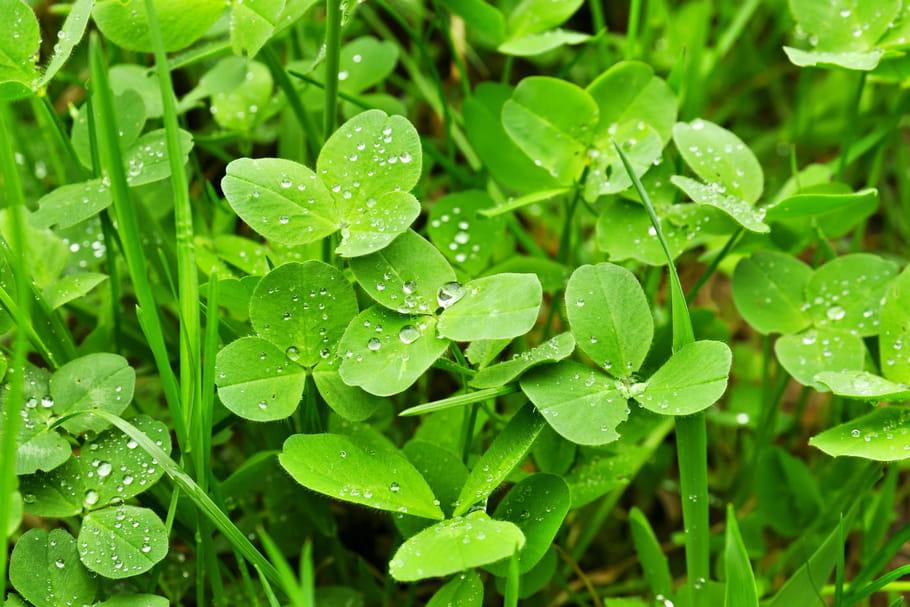 enlever les pissenlits de la pelouse