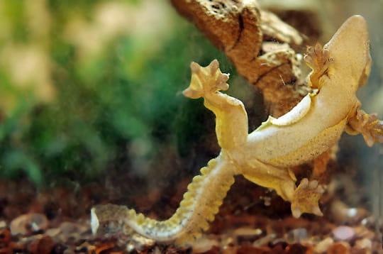 Le gecko qui savait voler