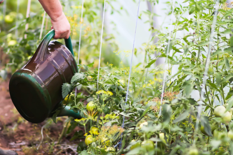 Arrosage des tomates: fréquence, méthode et précautions à prendre