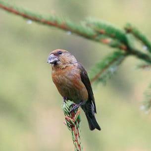 le bec-croisé des sapins est un oiseau peu farouche qui, lorsqu'il est occupé à