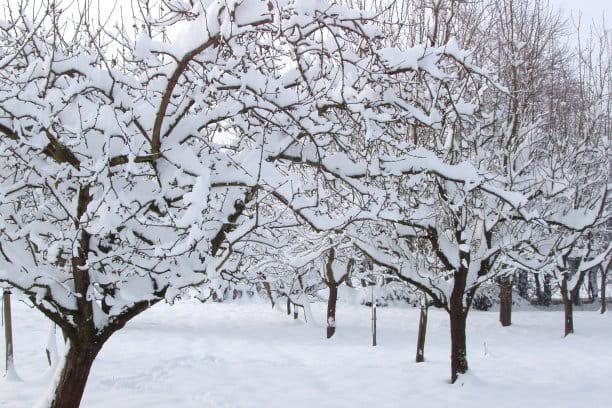 Verger sous la neige - Jardin d hiver de la berteliere ...