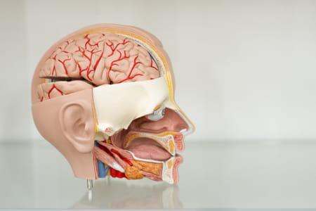 Boîte crânienne schéma