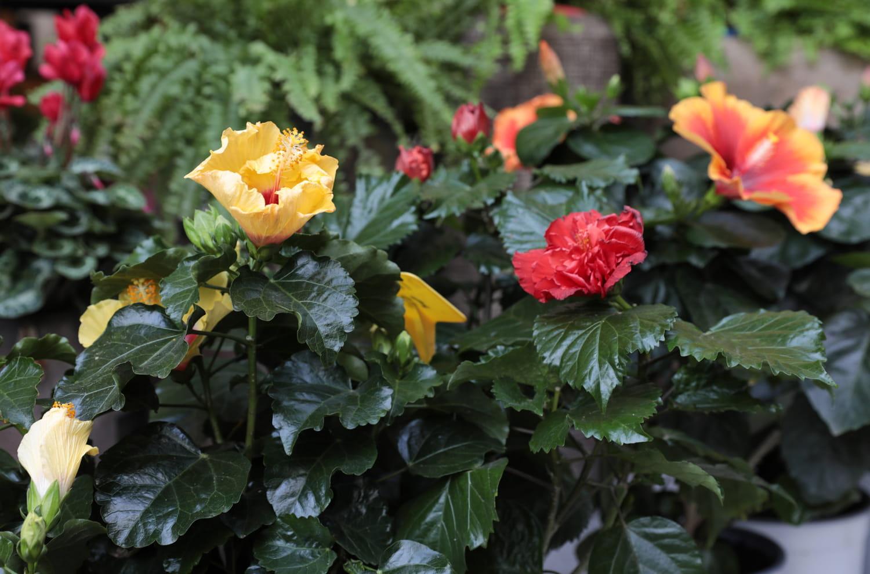 Hibiscus en pot: comment le cultiver et l'entretenir?