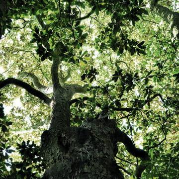 Le célèbre Magnolia de Purpan