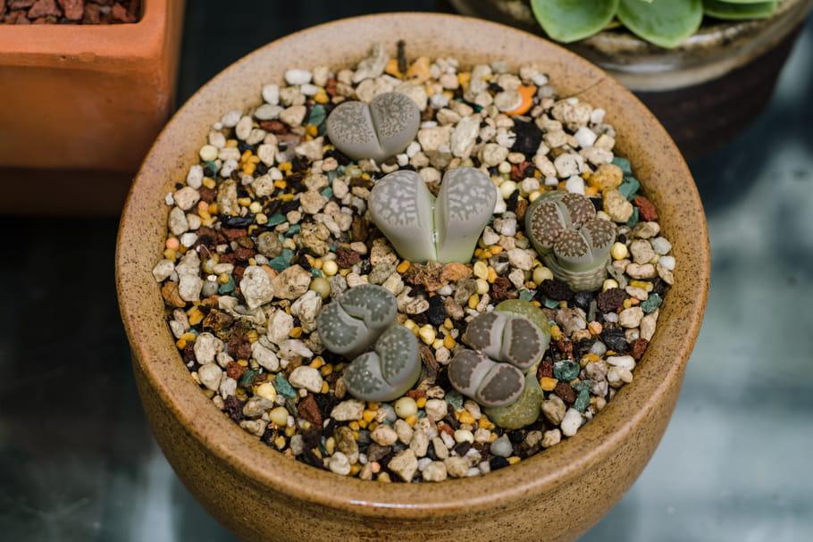 Lithops (Plante-caillou)