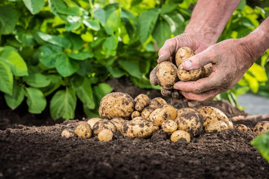 Cultiver des pommes de terre: plantation, entretien, maladie, récolte et conservation