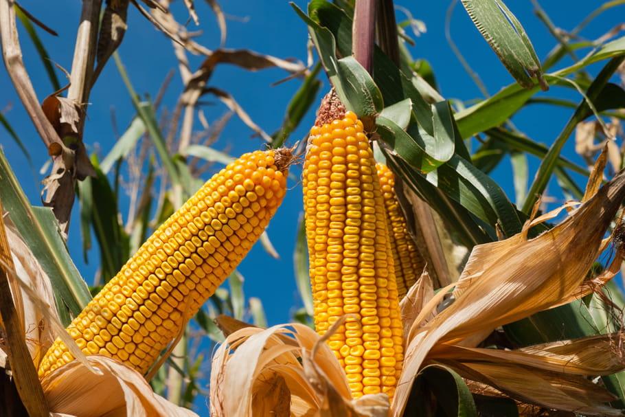 Cultiver du maïs: variétés, plantation et récolte