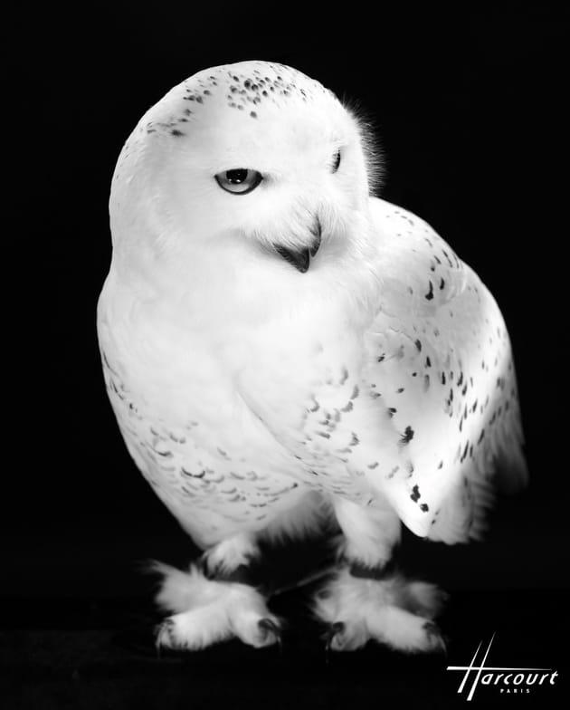 Hedwige, la chouette d'Harry Potter