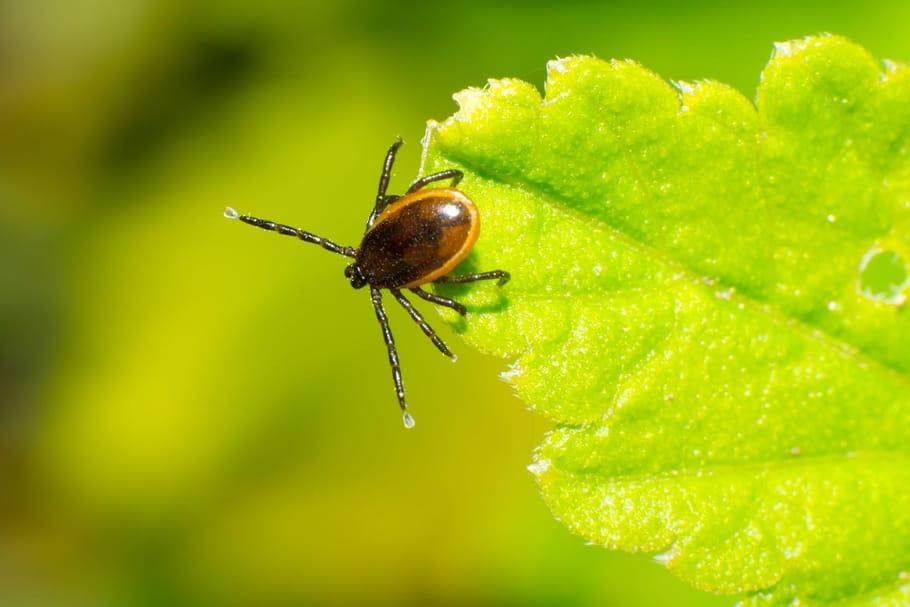 Signalement-Tique: une application pour prévenir la maladie de Lyme