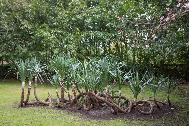Planter Un Lilas En Pot yucca : planter, entretenir, tailler et multiplier