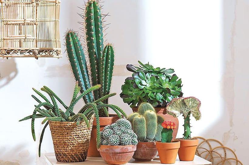 Cactus : planter, entretenir et rempoter